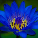 Water Lilly by Keith G. Hawley