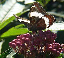 Backlit Butterfly by Geoffrey