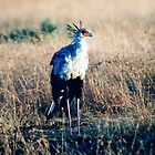 Secretary Bird by JaneRia