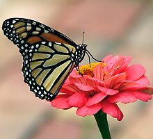 Monarch Butterfly on Zinnia by Danielle Kerese
