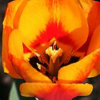Rembrandt tulip by hfrymark
