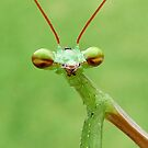 Praying Mantis by Macky