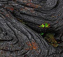 Telopea Truncata by Peter Daalder