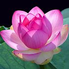 Lotus Blossom card by Judith Winde