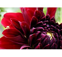 Red dahlia with insect Photographic Print