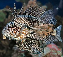 Lionfish by Holly Werner