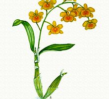 Golden-bow Dendrobium - Dendrobium chrysotoxum by Sue Abonyi