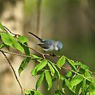 Blue-gray Gnatcatcher by Sandy Keeton