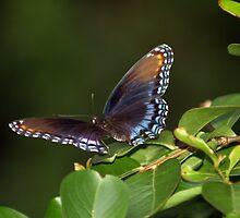 Virginia Butterfly by Ricky Howard