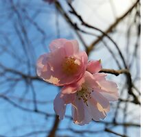 Blue Skies and Winter Blossom by TerriWatson