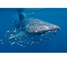 Whale Shark, Ningaloo Reef, Western Australia Photographic Print
