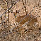Steenbok by Erik Schlogl