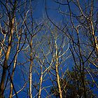 Betula Pendula | Silver Birch - Quogue, New York by © Sophie W. Smith