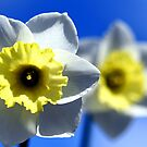 Daffodils by ~ Fir Mamat ~