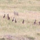 Roos. Near Singleton, NSW  by Mandy Gwan