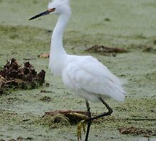 Snowy Egret Prancing by Cynthia Pulsifer Photography
