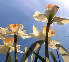 Daffodils by josemercado