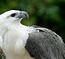 Nobility - White Bellied Sea Eagle by Gayle Shaw