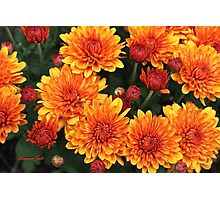 Fall Faces ~ Rust Color Button Mums Photographic Print