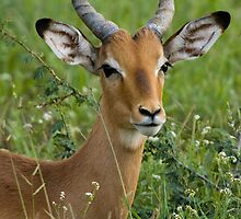 Young Impala in Grass by Gerry Van der Walt