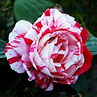 candy stripe rose by Brenda Loveless