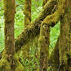 Hoh Rain Forest (9847) by Barry L White