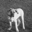 young bull mastiff by brucemlong