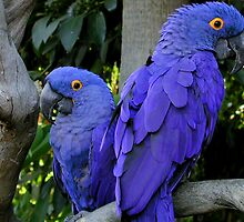 Hyacinth Macaws by dale427
