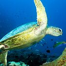 Green sea turtle by David Wachenfeld