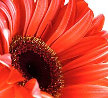 red gerbera closeup by Martin Pot
