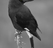 Yellow Eye - Currawong by Brayden Howie