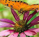 Gulf Fritillary, Butterfly by Eyal Nahmias