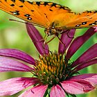 Gulf Fritillary, Butterfly by Eyal Nahmias