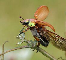Australian Christmas Beetle by craignoble