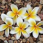 frangipani quins by Tracy King