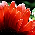 red gerbera petals by Martin Pot