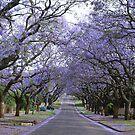 Spring in Pretoria by Carisma