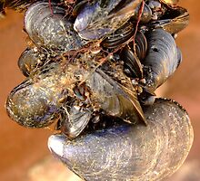 Mussels by mikeloughlin