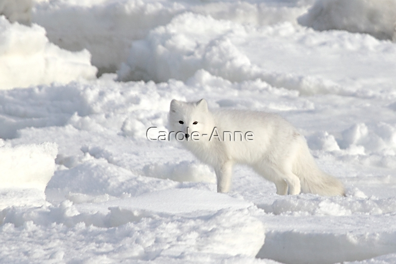 White on White. Arctic Fox #1, on the Tundra, Hudson Bay, Canada by Carole-Anne