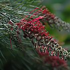 Grevillea after the rains by goodwisj