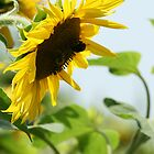 Backlighted sunflower by tilo