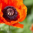 Poppy 2 by Rebecca Cozart