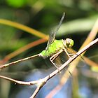 Green Dragonfly by paulscar