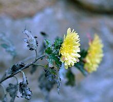 Chrysanthemum losing hope by Adrian Bud