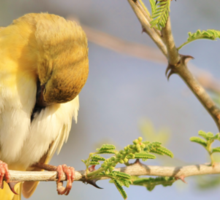 Yellow Masked Weaver - Taking a Rest Sticker