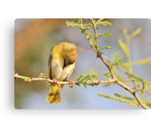 Yellow Masked Weaver - Taking a Rest Canvas Print