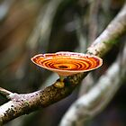 Microporus xanthopus Fungi by Erland Howden