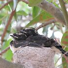 Sweet Willy Wagtail Chicks, almost ready to fly. 'Arilka' Adelaide Hills. by Rita Blom