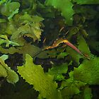Leafy Sea Dragon by Simon Atherton