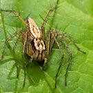 Lynx Spider by Frank Yuwono